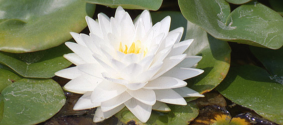 white-nymphaea-flower-re.jpg