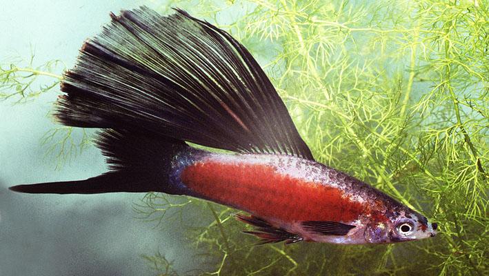 xiphophorus-helleri-flag.jpg